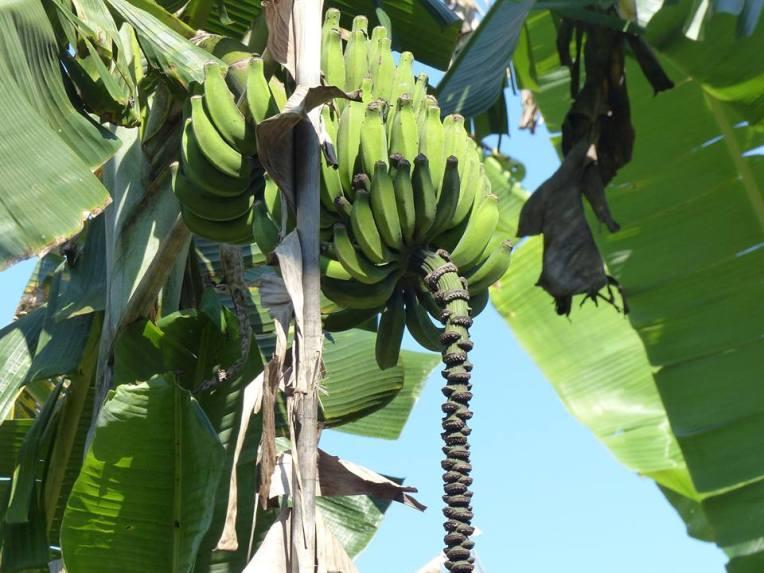 Tie vei banaaniviljelmien läpi